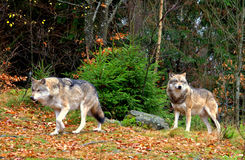 Wolfs Royalty Free Stock Photo