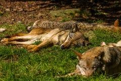 Wolfs в Wildpark Neuhaus Стоковая Фотография