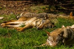 Wolfs in Wildpark Neuhaus. Wildpark Neuhaus,Park full of animals un Germany Stock Photography