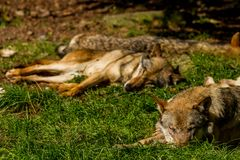Wolfs in Wildpark Neuhaus. Wildpark Neuhaus,Park full of animals un Germany Stock Image