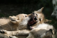 Wolfs. Wolf puppies playing with each other Stock Image