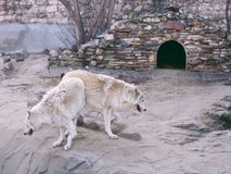 Wolfs in zoo. White wolfs in zoo Stock Image