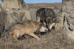 Wolfsfamilie met jongen bij prairiehol Royalty-vrije Stock Foto's