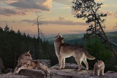 Wolfsfamilie op vakantie stock foto