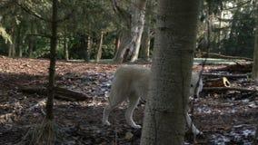 Wolfsgangen alleen in het bos stock videobeelden