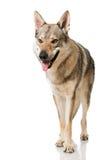 Wolfshond Stock Foto's