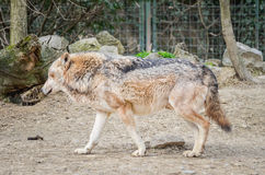 Wolfshond - Canis Lupus Royalty-vrije Stock Afbeelding