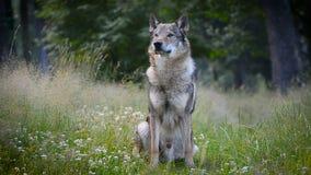 Wolfshond in de zomerzitting stock videobeelden