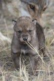 Wolfsjong met moeder op achtergrond royalty-vrije stock afbeelding
