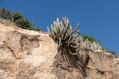 Wolfsmelkechinus het groeien in dorre voorwaarden, Agadir, Marokko royalty-vrije stock fotografie