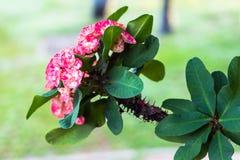 Wolfsmelkkroon van dichte omhooggaand van de doornen tropische bloem royalty-vrije stock foto