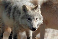 Wolfspak royalty-vrije stock afbeeldingen