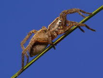 Wolfspider Stock Photography