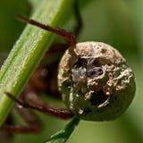 Wolfspinne, Alopecosa-pulverulenta Nahaufnahme des Eies mit spiderlings stockfoto