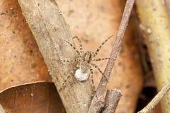 Wolfspinne mit dem Eibeutel, der auf ihm befestigt wird, ist Spinndüsen Stockbild