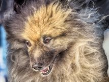 Wolfspitz Keeshond is a very cute, attractive and beautiful dog. The dog - man`s best friend.It`s a loyal animal.Favorite animal in the family royalty free stock images