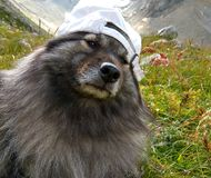 Wolfspitz / keeshond in a white cap. Wolfspitz / keeshond wearing a white cap on an alpine meadow in the mountains royalty free stock image