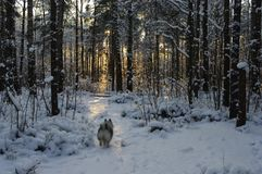 Wolfspitz puppy in the winter forest. Snow sunset dog walks keeshond evening stock image