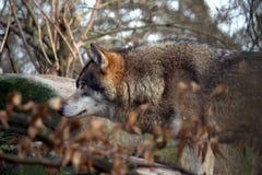 Wolfsportret Stock Afbeelding