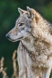 Wolfsportret stock foto