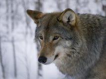 Wolfsportret, Noorwegen stock afbeelding
