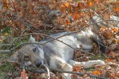 Wolfspuppy die in een warme de herfstdag ontspannen Stock Foto