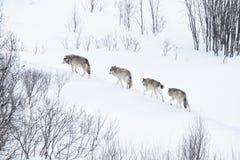 Wolfsrudel, der in die kalte Landschaft läuft Lizenzfreies Stockbild
