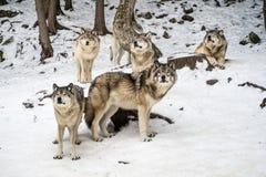 Wolfsrudel mit Alpha in der Mitte, die Kamera betrachtet lizenzfreies stockfoto