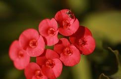 Wolfsspin op de jacht op rode bloem Stock Afbeeldingen
