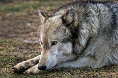 Wolfstillstehen Stockbild