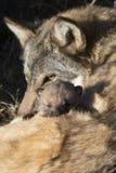 Wolfwelpe mit isst das Blicken heraus über Mutter Stockbilder