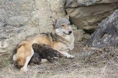 Wolfwelpen, die auf Mutter einziehen Stockfoto