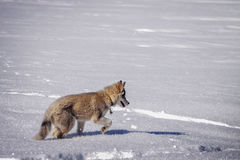 Wolfy na neve fotografia de stock royalty free