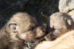 Wolf pups playing together Royalty Free Stock Photo