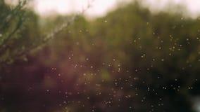 Wolk van Klein wit insecten midges close-up in lucht op de bosachtergrond De zomer warme zonnige atmosfeer in de natuurlijke wild stock video