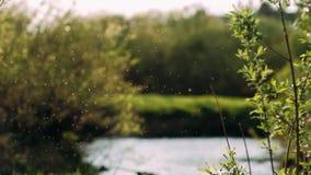 Wolk van Klein wit insecten midges close-up in lucht op de bosachtergrond De zomer warme zonnige atmosfeer in de natuurlijke wild stock videobeelden