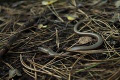 Wolk w lesie, spotyka węża fotografia royalty free