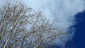 Wolke und Birke stock video footage