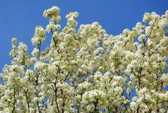 Wolke von weißen Blumen in Padua im Venetien (Italien) Lizenzfreie Stockfotos
