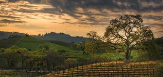 Wolken bij zonsopgang over de wijngaard met eiken boom Stock Foto