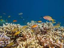 Wolken des Fadenfisches und der dispar anthias über Acroporakoralle Lizenzfreie Stockfotografie
