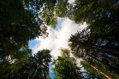 Wolken door de pijnbomen Stock Foto's