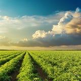 Wolken im Sonnenuntergang über grünem landwirtschaftlichem Feld mit Tomaten Lizenzfreie Stockfotos