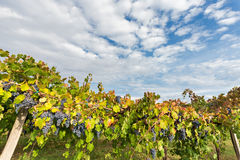 Wolken op de wijngaard Stock Foto