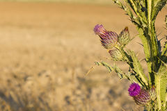 Wolldistelblumen Stockfotografie