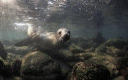 Wollebaeki curieux de Zalophus d'otarie de Galapagos sous-marin Photographie stock
