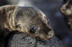 Wollebaeki de Zalophus d'otarie de Galapagos de bébé prenant un bain de soleil sur des roches Image stock