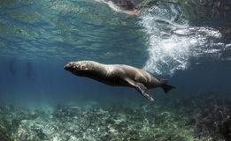 Wollebaeki de Zalophus d'otarie de Galapagos nageant l'eau du fond rapide Image stock