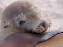 Wollebaeki dello Zalophus del leone marino di pagos del ¡ di Galà fotografie stock
