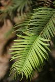 Wollemi Pine Stock Images